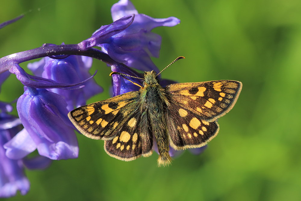 Chequred Skipper Butterfly