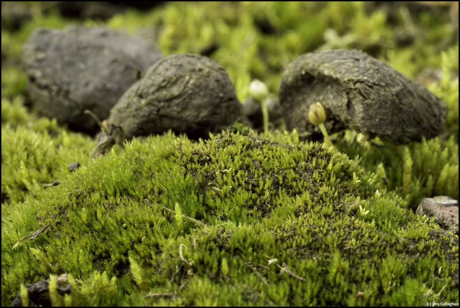 Cornish Path Moss