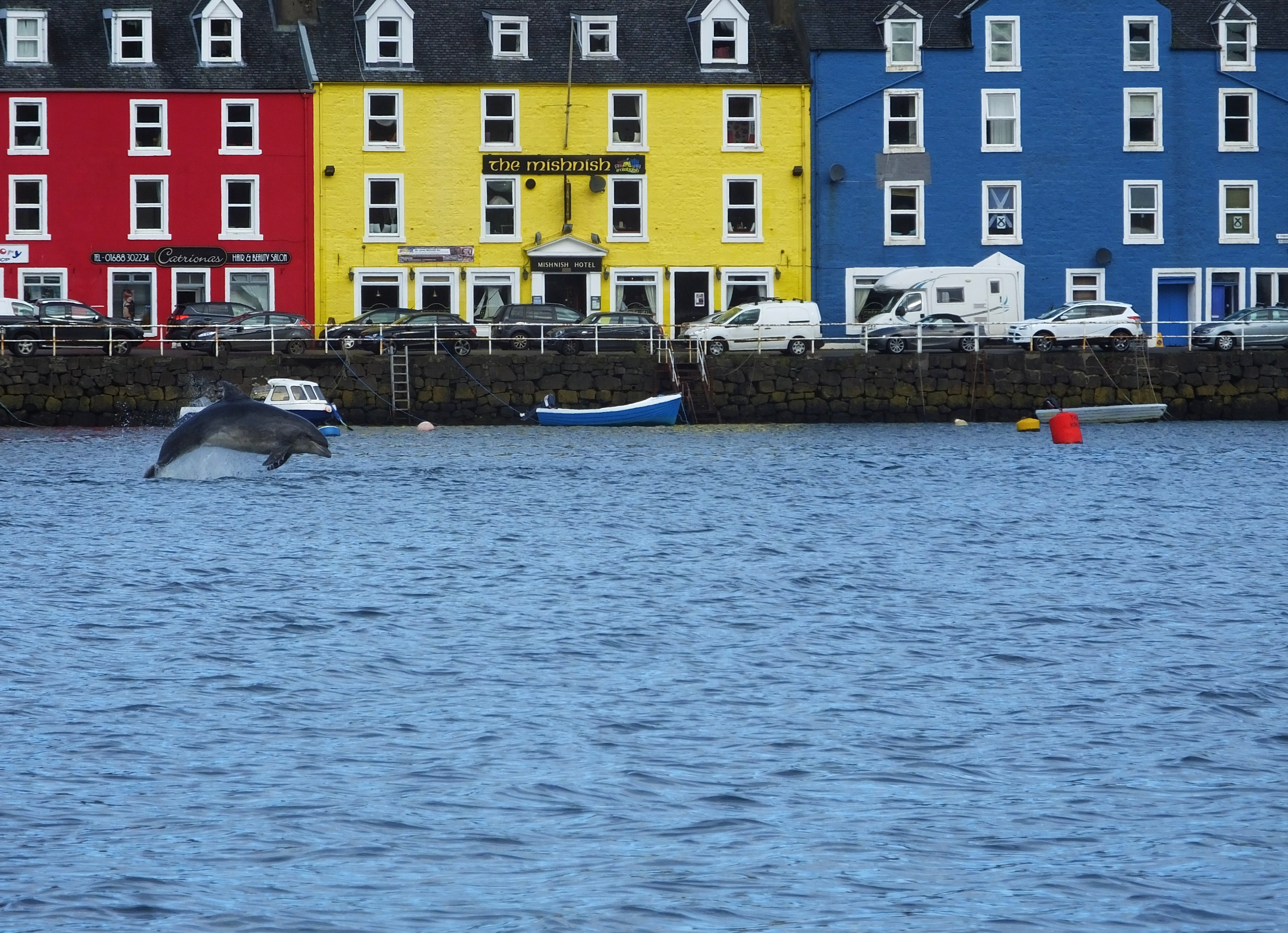 A dolphin leaping near Tobermory