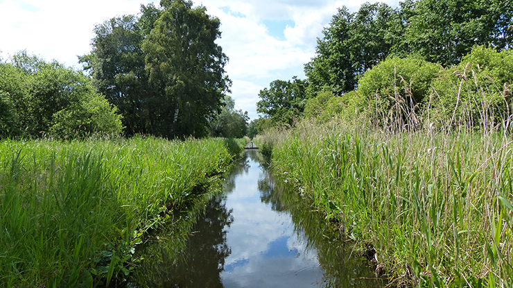 Long green reeds and trees by water at Woodwalton Fen